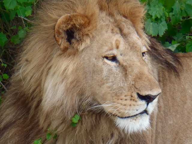 Lion on private safari in Africa
